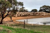 Ewes and Lambs at dam, July 2012