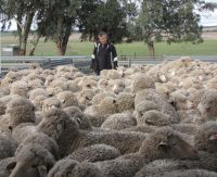 Bill Walker and ewe hoggets 2013