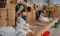 First Shearing in new shed