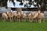 Roemahkita rams after shearing